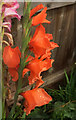 SX9065 : Rain on gladiolus, Torre by Derek Harper