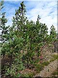 NJ0747 : Pine Trees by Anne Burgess