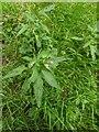 TF0820 : Redshank flowers by Bob Harvey