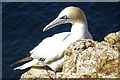 NJ8267 : Northern Gannet (Morus bassanus) by Anne Burgess