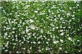 NJ4048 : Lesser Stitchwort (Stellaria graminea) by Anne Burgess
