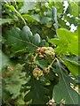 TF0820 : Oak Artichoke Gall by Bob Harvey