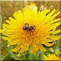SK7152 : Corn sowthistle with pollinating bee by Alan Murray-Rust