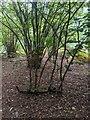 TF0820 : Hazel regrowth by Bob Harvey