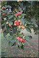 TF0820 : An abundance of fruit by Bob Harvey