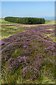 NY5911 : Heather and pine plantation, Crosby Ravensworth Fell by Andy Waddington