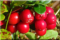 NJ0331 : Cowberry (Vaccinium vitis-idaea) by Anne Burgess