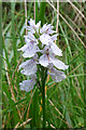 NJ0039 : Heath Spotted Orchid (Dactylorhiza maculata) by Anne Burgess