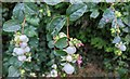 TF0820 : Symphoricarpos albus - Snowberry by Bob Harvey