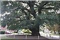 SK9237 : The Oak Tree by Bob Harvey