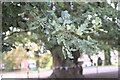 SK9237 : Oak Leaves by Bob Harvey