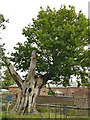 SJ7387 : Ancient oak at Dunham Massey by Stephen Craven