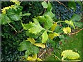 SO8932 : Leaves of a cut-leaf lime tree by Philip Halling