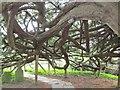 SU7844 : Bentley - Ancient Yew by Colin Smith