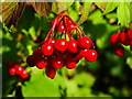 SU0486 : Red berries, The Firs Nature Reserve, Braydon by Brian Robert Marshall