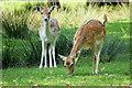 SJ7487 : Dunham Massey Deer Park by David Dixon