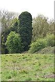 TQ5942 : Ivy clad chimney by N Chadwick