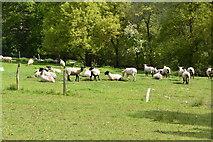 TQ5942 : Sheep, Forge Farm by N Chadwick