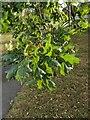 TF0820 : Oak Leaves by Bob Harvey