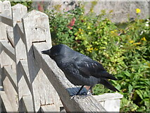 TM0733 : Constable, that's a Gainsborough: baby Jackdaw at Bridge Cottage by Basher Eyre