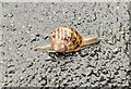 TF0820 : Snail in the wet by Bob Harvey