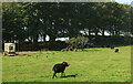 SX7379 : Black sheep, Swine Down by Derek Harper