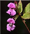 NT4832 : Himalayan Balsam (Impatiens glandulifera) by Walter Baxter