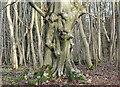 ST8186 : Trunk of Beech Tree, Bull Park Wood, nr Didmarton, Gloucestershire 2016 by Ray Bird