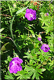 NX0986 : Bloody Cranesbill (Geranium sanguineum) by Anne Burgess