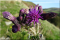 NX1894 : Marsh Thistle (Cirsium palustre) by Anne Burgess