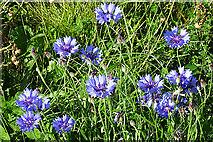NX1289 : Cornflowers (Centaurea cyanus) by Anne Burgess