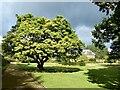 ST2885 : Magnolia  tree, Tredegar House Garden by Robin Drayton