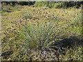 NJ3265 : Black Bog-rush (Schoenus nigricans) by Anne Burgess