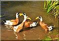 ST8077 : Indian Runner Ducks, West Kington, Wiltshire 2020 by Ray Bird
