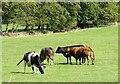NZ1351 : Beef cattle by Robert Graham