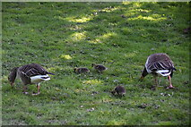 TQ6045 : Greylag geese & goslings, Somerhill by N Chadwick