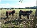 TQ4837 : Calves at Millwood Farm by Marathon