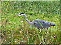SD7807 : Juvenile Heron by the side of the Canal by David Dixon