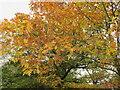 TQ1978 : Gunnersbury Park, autumn leaves of turkey oak by David Hawgood