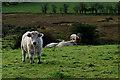 H4657 : Cattle, Aghafad by Kenneth  Allen