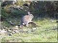 NT9724 : Startled rabbit by Oliver Dixon