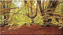 NH5857 : Beech trees in Drummondreach Oak Wood SSSI by Julian Paren
