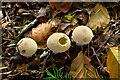 H4963 : Puff balls, Seskinore by Kenneth  Allen