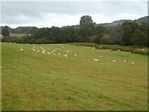ST6601 : Sheep by River Cerne by David Smith
