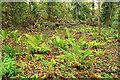 SX8966 : Ferns, Welsury Covert by Derek Harper