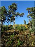 NJ4749 : Balloch Wood by Anne Burgess