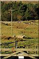 NT9716 : Sheep, Hartside by Derek Harper