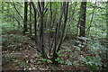 TQ8237 : Coppicing, Roger's Wood by N Chadwick