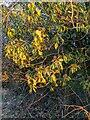 TF0820 : Ivy in the sunlight by Bob Harvey