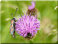 SE1628 : Insect on knapweed, Raw Nook nature reserve by Stephen Craven